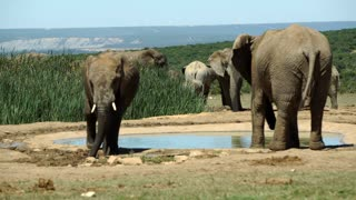Elephants around a small waterpool in Addo Elephant National Park South Africa