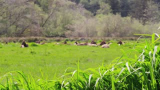 Elk Lying in Grass