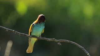 European Bee-eater sitting on the branch, Southern Europe nature