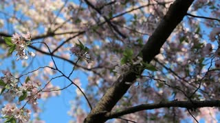Extending Branches From Cherry Blossoms