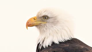 Extreme Close Up of Bald Eagle With Scarred Beak