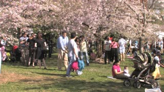 Families Under the Cherry Blossoms