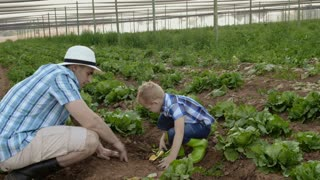 Farming father teaching son to dig holes with spade on the lettuce field on their farm.