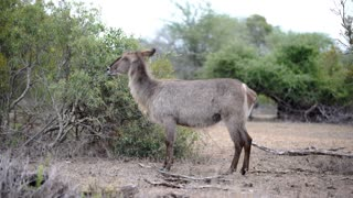 Female antelope waterbuck standing alone in the bush in Kruger National Park South Africa