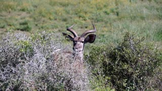 Female kudu looking towards the camera in Addo Elephant National Park South Africa