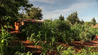 Fertile Cornfield In African Village