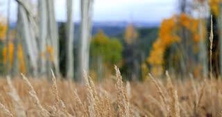 Field of fall foliage in Colorado