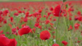 Field of poppies flower