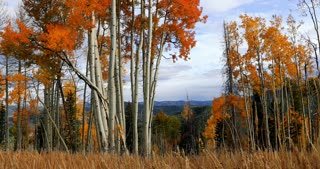 Field of red orange and yellow Aspen trees in autumn with fall foliage