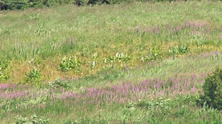 Fireweed and Grass Blowing in Wind on Hillside