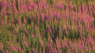 Fireweed Blowing Gently in Breeze