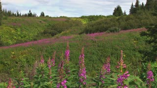 Fireweed In Countryside
