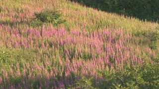 Fireweed on Hillside