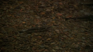 Fish In Shallow Water