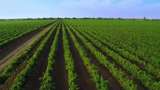 Flight over the Vineyard. Aerial Video from Drone