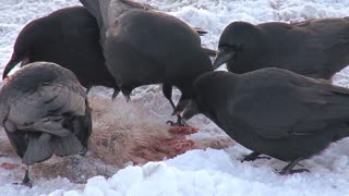Flock of Crows Eating Dead Hare