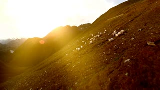 flock of sheep. group of white sheep. herd of animals. aerial view. landscape