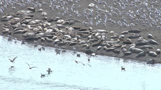 Flocks of Seagulls and Harbor Seals on Shoreline at River Mouth