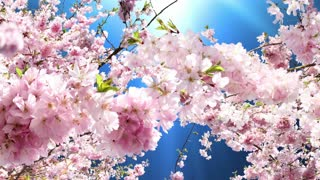Flowering cherry blossoms animation