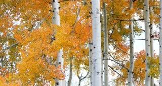 Fluttering golden Aspen leaves in autumn