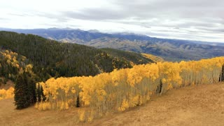 Flying over a field of golden Aspen trees in autumn Colorado Rockies