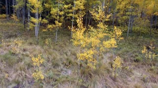Flying up to reveal Aspen trees in a forest with vibrant fall foliage in autumn