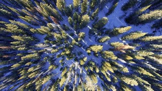 Flying upwards to reveal snow covered pine trees in winter forest