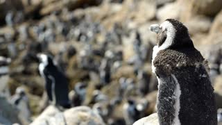 Focus pull from molting penguin to penguin colony at the rocks in Stony Point South Africa