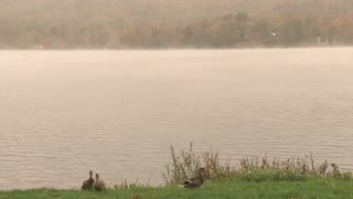 Fog And Ducks At The Lake