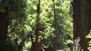 Forest and Redwoods Tilt View