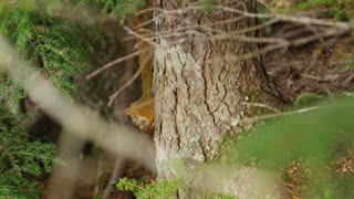 Forest Squirrel Jumping By Trees
