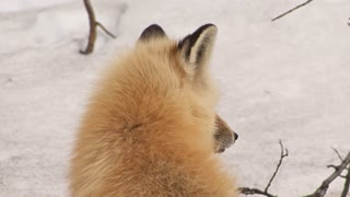 Fox Looking Around in the Snow