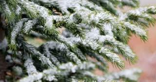 Fresh snow flakes landing on a pine tree