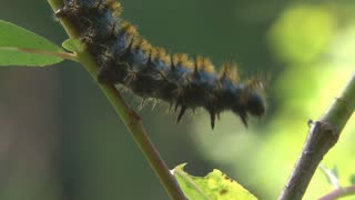 Fuzzy Caterpillar Climbing on Branch