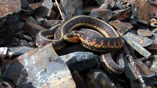 Garter Snake Coiled on Rocks