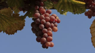 Germany Pfalz Grapes 5