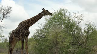 Giraffe eating from a tree in Kruger National Park South Africa