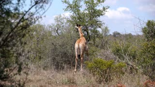 Giraffe eats from a tree and walks away in hluhluwe imfolozi park South Africa