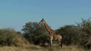 Giraffe In Field