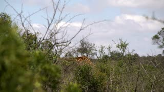 Giraffe looking up from the bush while chewing in hluhluwe imfolozi park South Africa