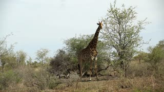 Giraffe standing next to a tree in Kruger National Park South Africa