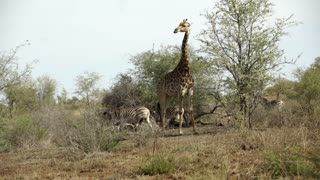 Giraffe together with three zebras in Kruger National Park South Africa