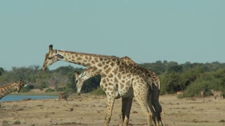 Giraffes Fighting 2