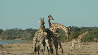 Giraffes Fighting 3