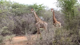 Giraffes looking towards and eating in Kruger National Park South Africa
