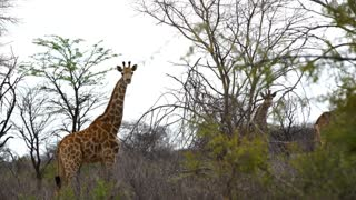 Giraffes looking towards the camera before waking away in Kruger National Park South Africa