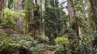 Glidecam Moving Through Redwood Forest