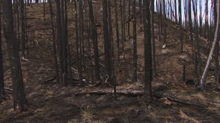 Glidecam Through Burnt Forest