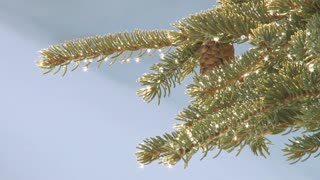 Glistening Spruce Droplets