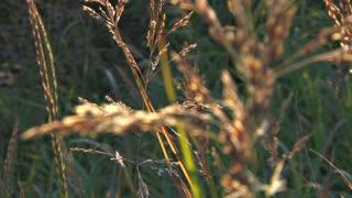 Glowing Grass Seed Stalk in Breeze